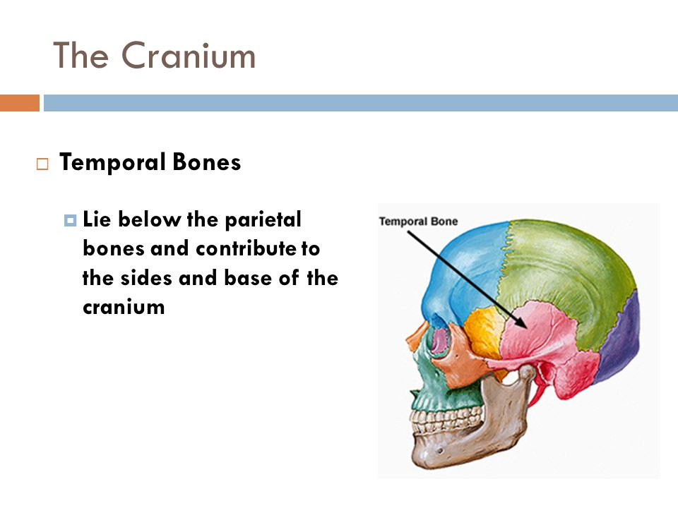 The Cranium Temporal Bones