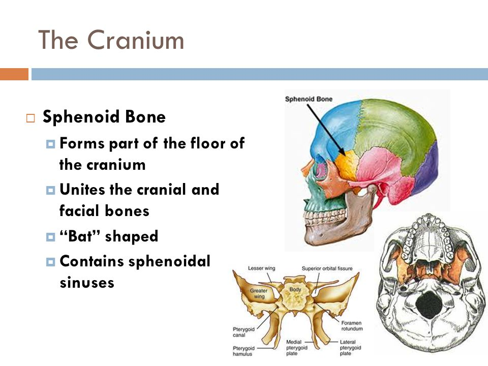The Cranium Sphenoid Bone Forms part of the floor of the cranium