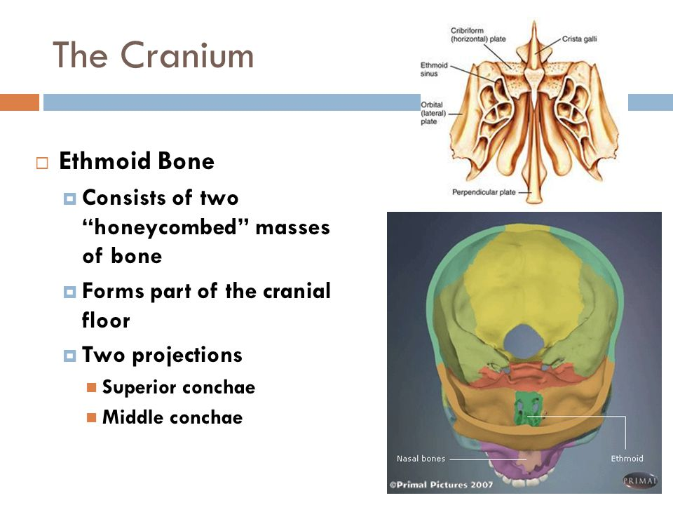 The Cranium Ethmoid Bone Consists of two honeycombed masses of bone