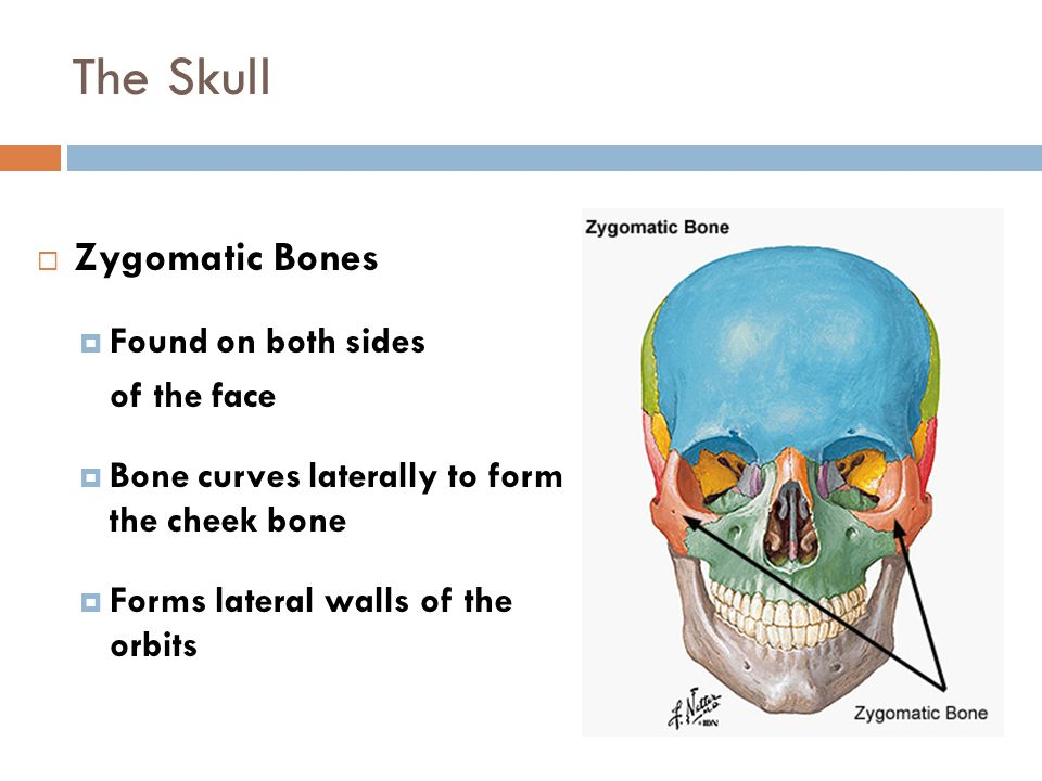 The Skull Zygomatic Bones Found on both sides of the face