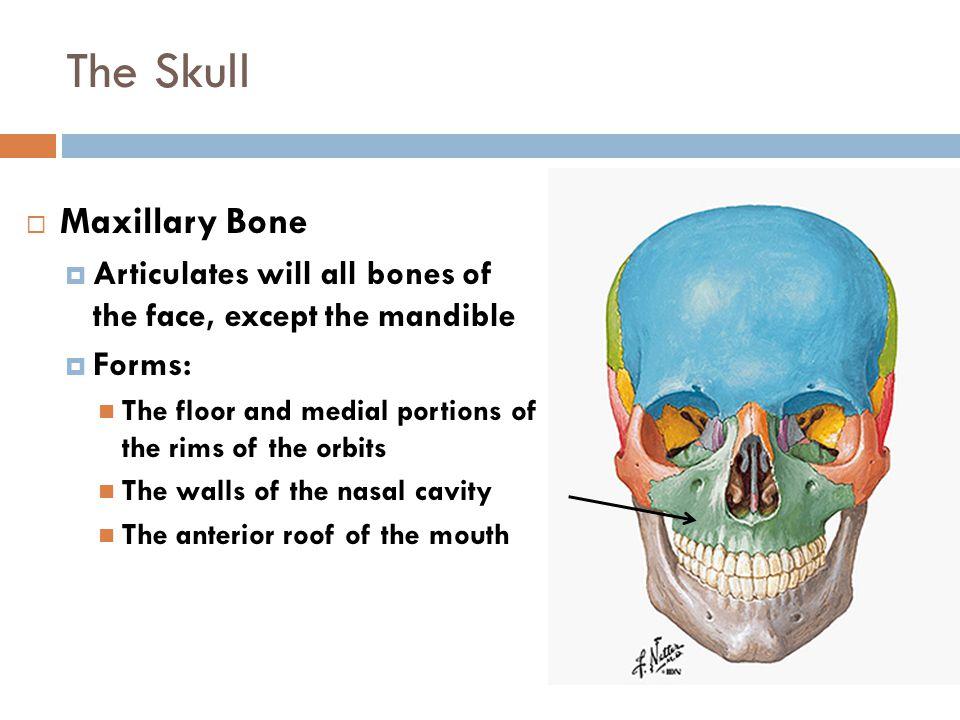 The Skull Maxillary Bone