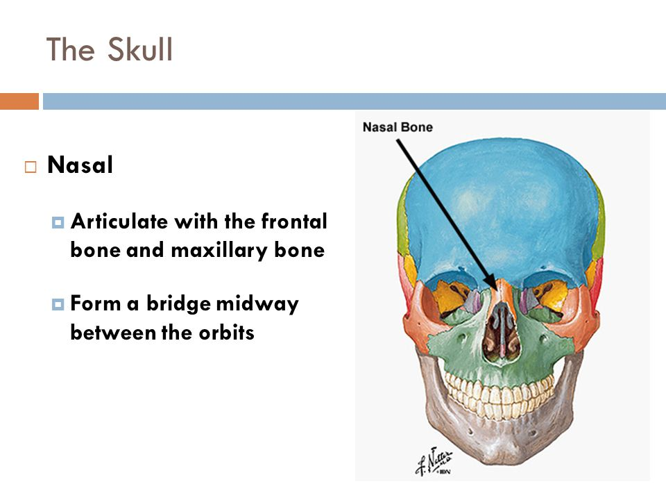 The Skull Nasal Articulate with the frontal bone and maxillary bone