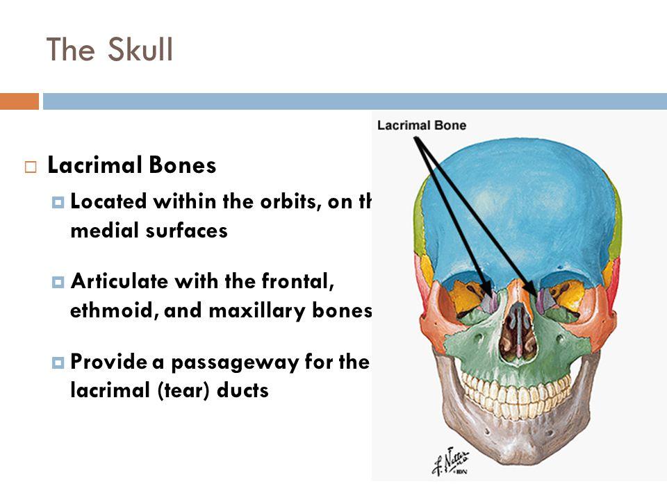 The Skull Lacrimal Bones