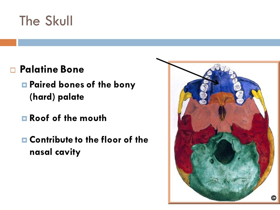 The Skull Palatine Bone Paired bones of the bony (hard) palate