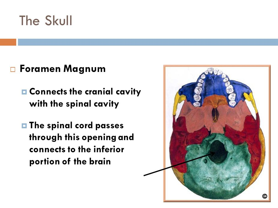 The Skull Foramen Magnum