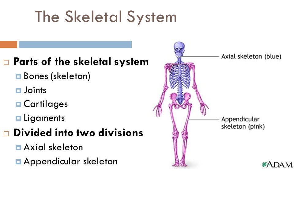 The Skeletal System Parts of the skeletal system