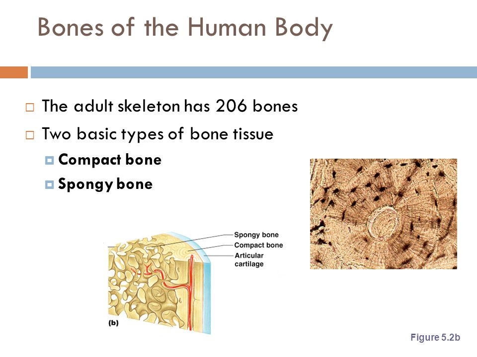 Bones of the Human Body The adult skeleton has 206 bones