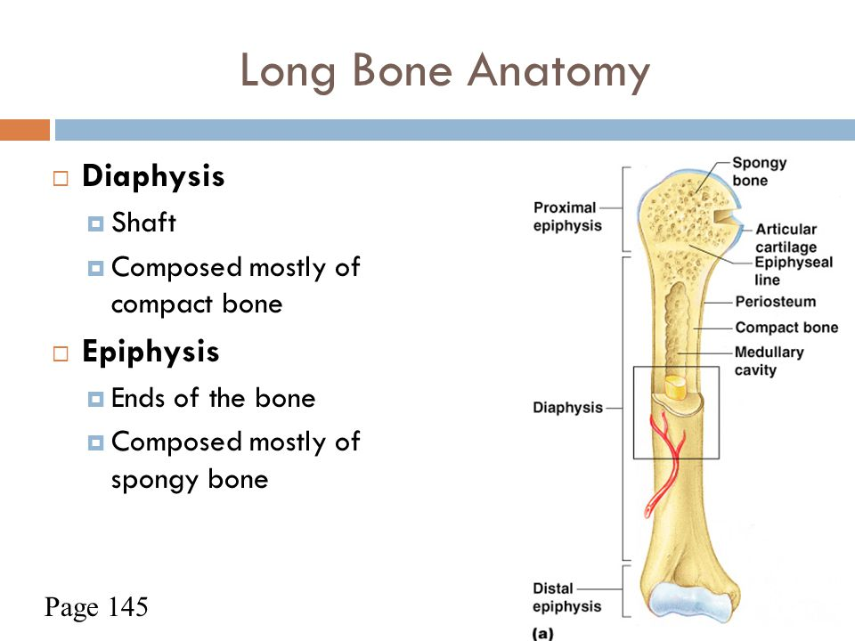 Long Bone Anatomy Diaphysis Epiphysis Shaft