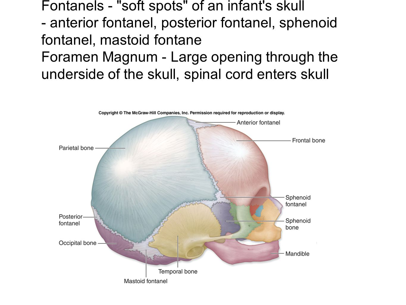Fontanels - soft spots of an infant s skull - anterior fontanel, posterior fontanel, sphenoid fontanel, mastoid fontane Foramen Magnum - Large opening through the underside of the skull, spinal cord enters skull