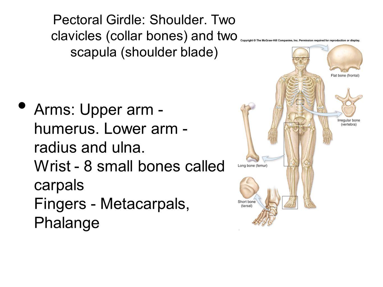Pectoral Girdle: Shoulder