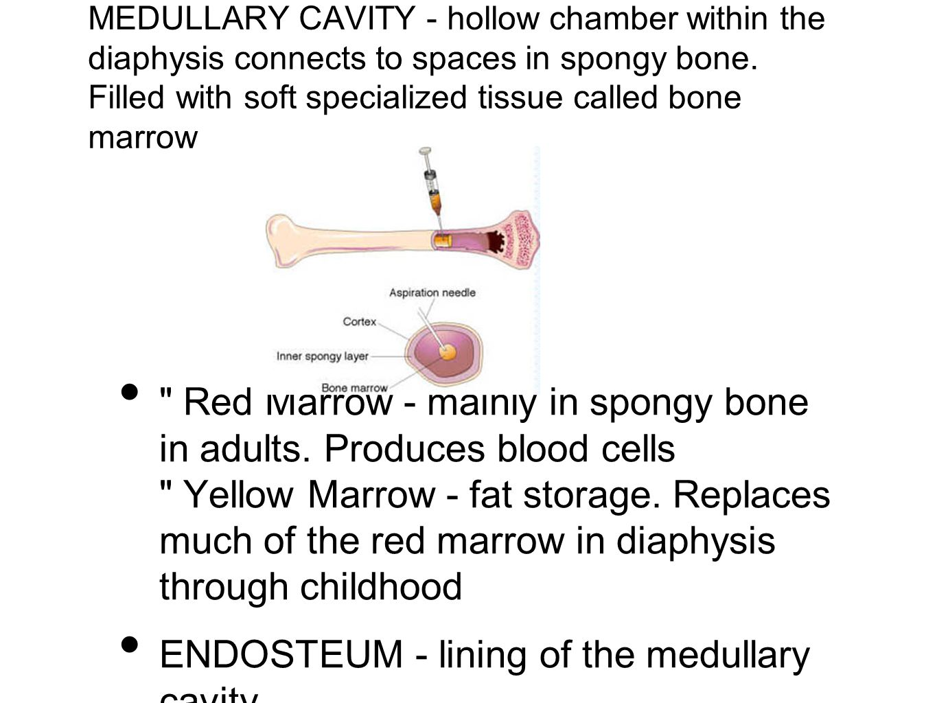 ENDOSTEUM - lining of the medullary cavity