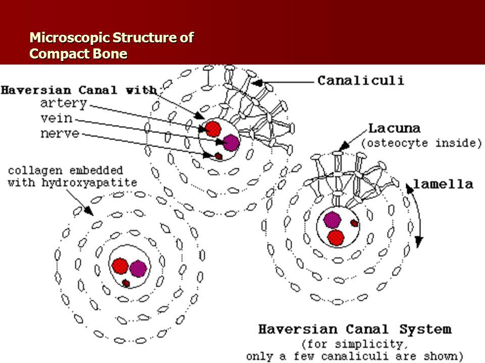 Microscopic Structure of Compact Bone