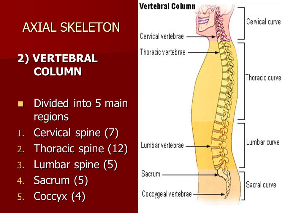 AXIAL SKELETON 2) VERTEBRAL COLUMN Divided into 5 main regions