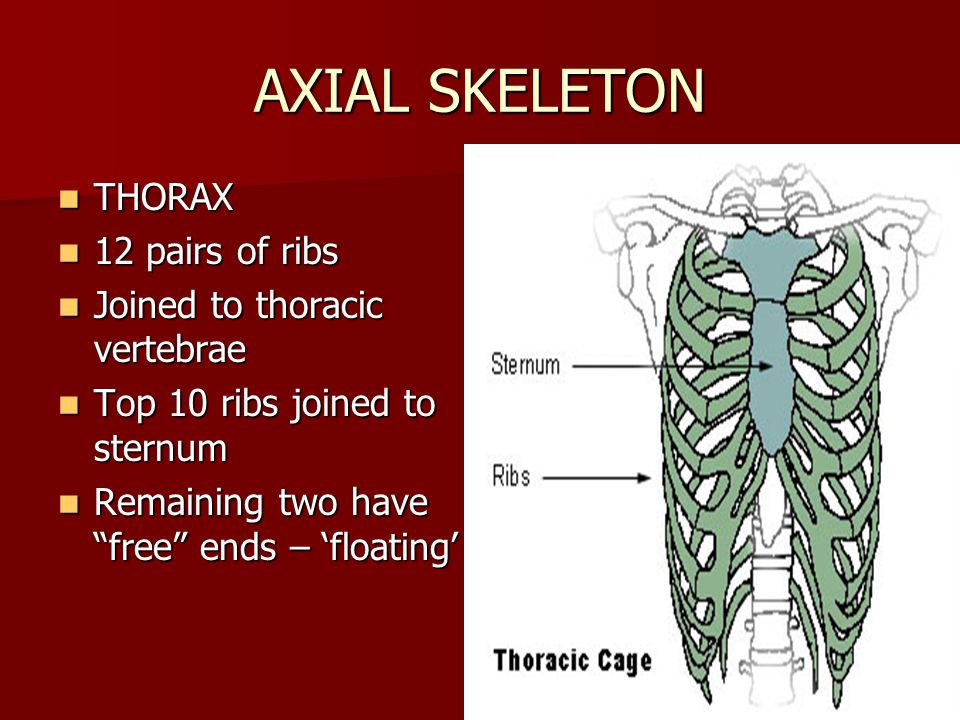 AXIAL SKELETON THORAX 12 pairs of ribs Joined to thoracic vertebrae
