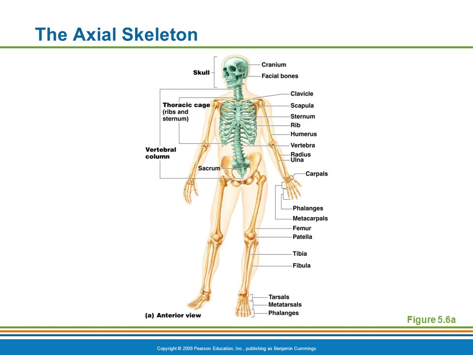 The Axial Skeleton Figure 5.6a