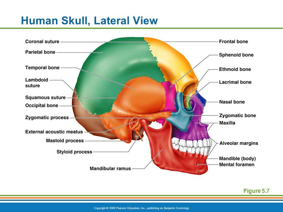 Human Skull, Lateral View