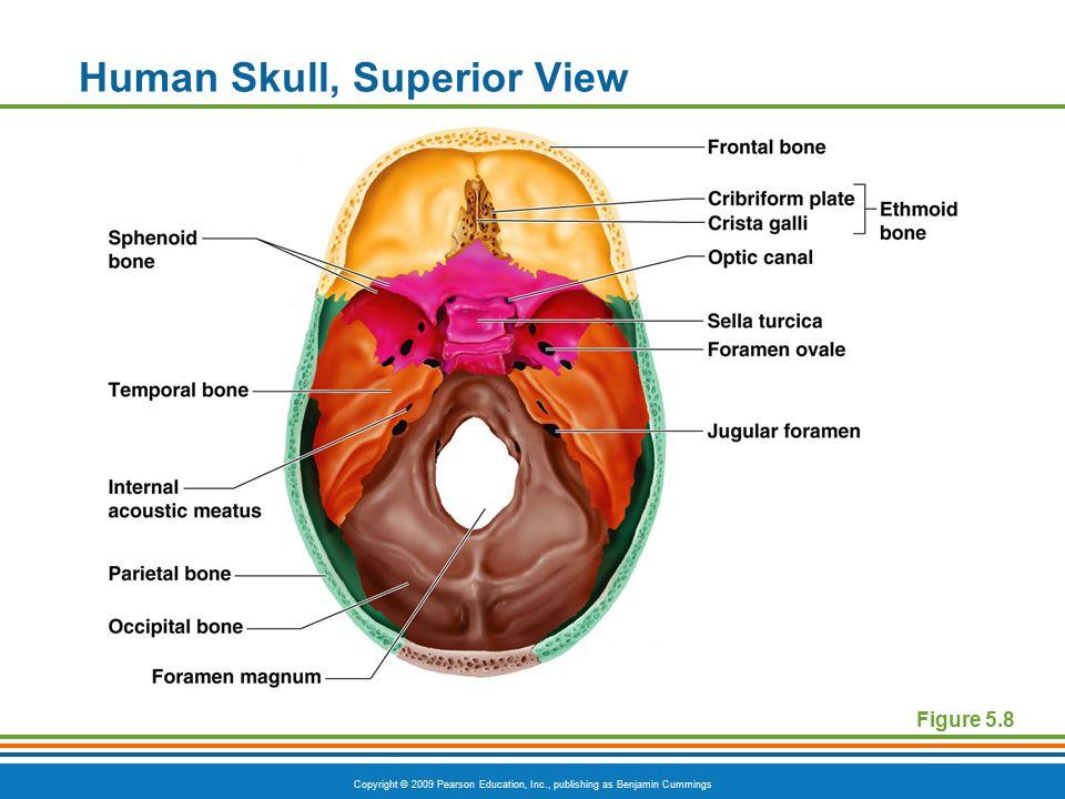 Human Skull, Superior View