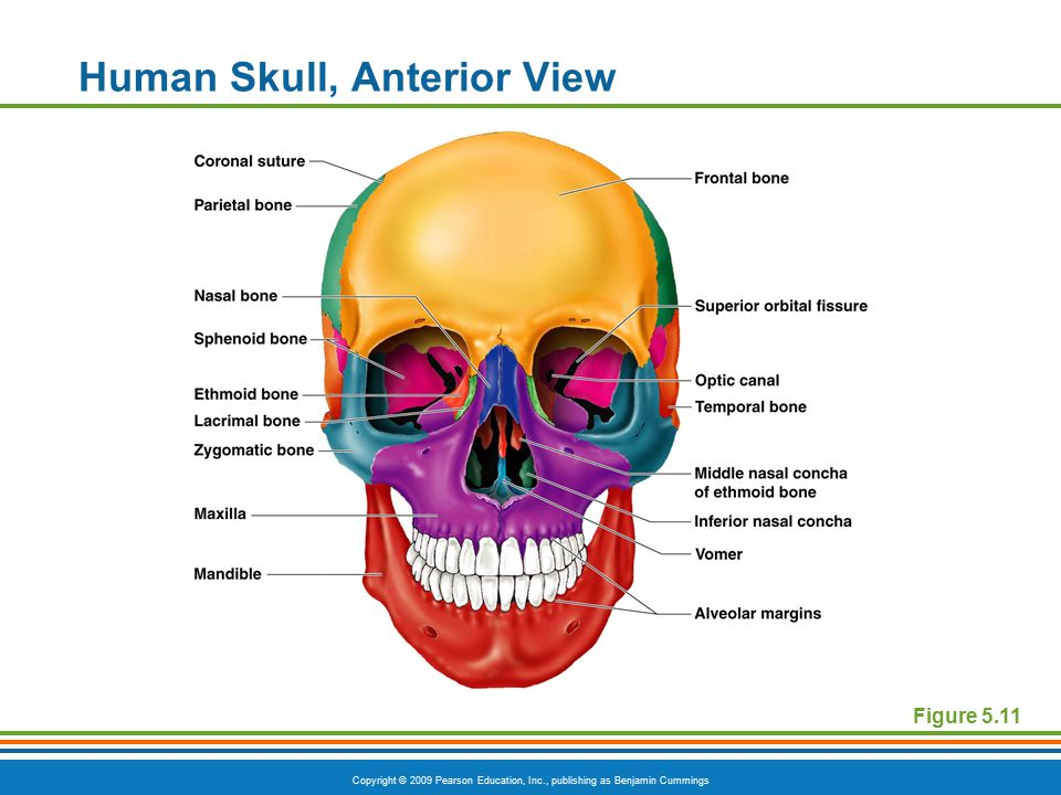 Human Skull, Anterior View