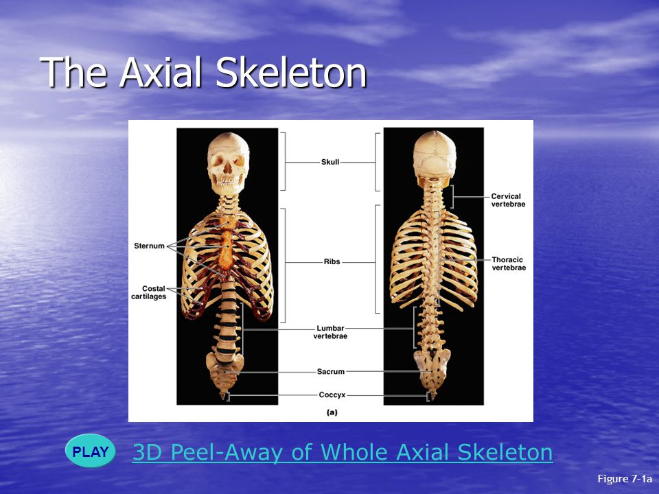 The Axial Skeleton 3D Peel-Away of Whole Axial Skeleton PLAY