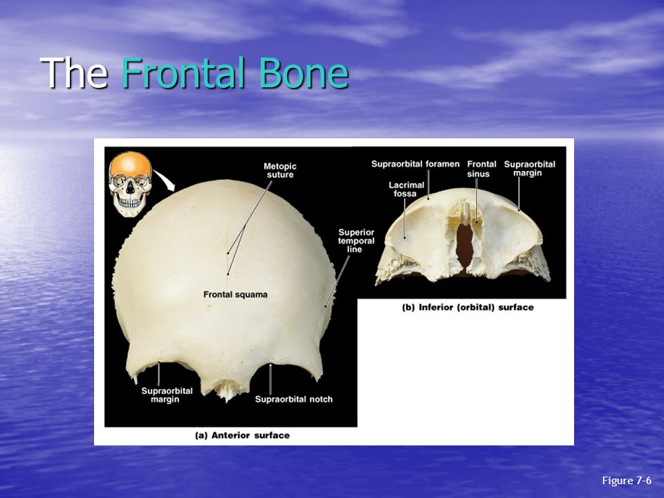 The Frontal Bone Figure 7–6