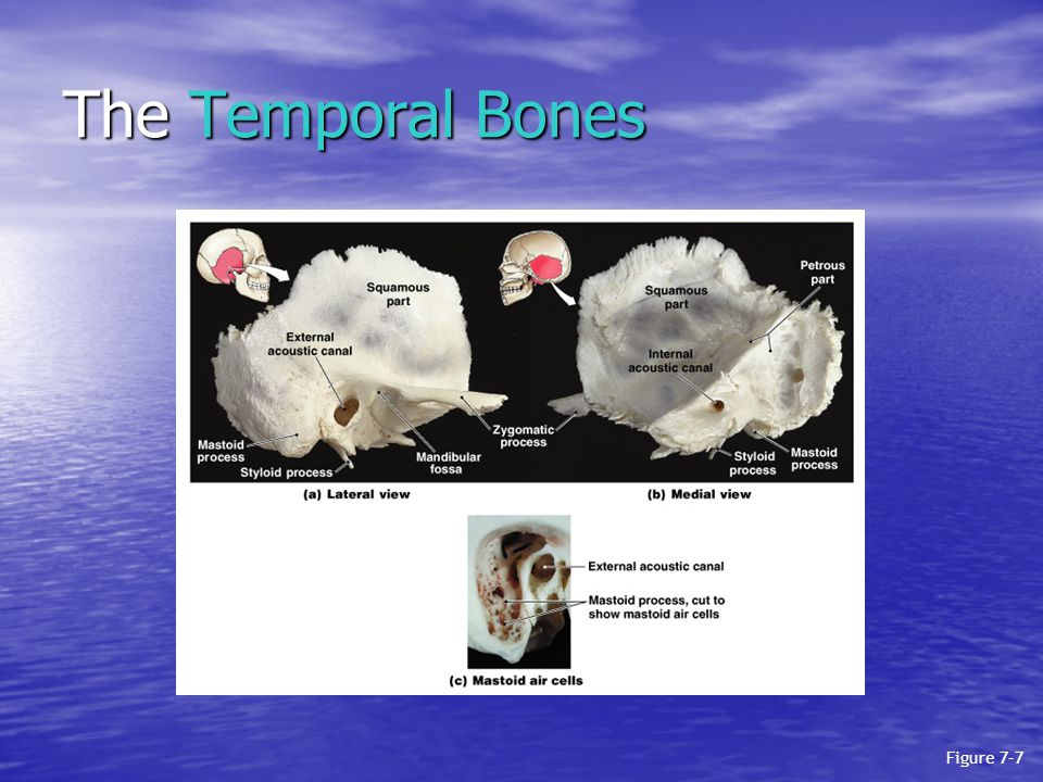 The Temporal Bones Figure 7–7