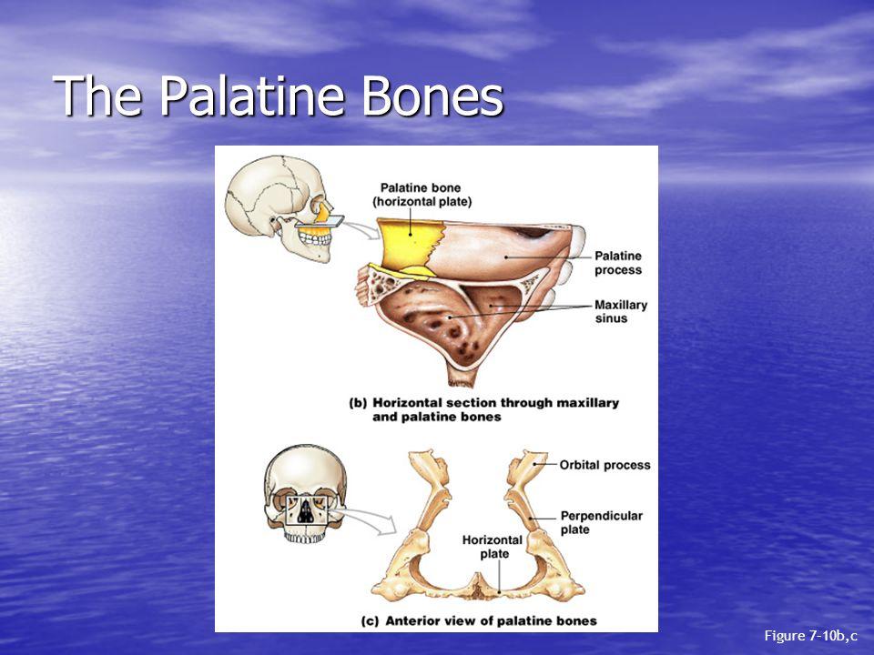 The Palatine Bones Figure 7–10b,c