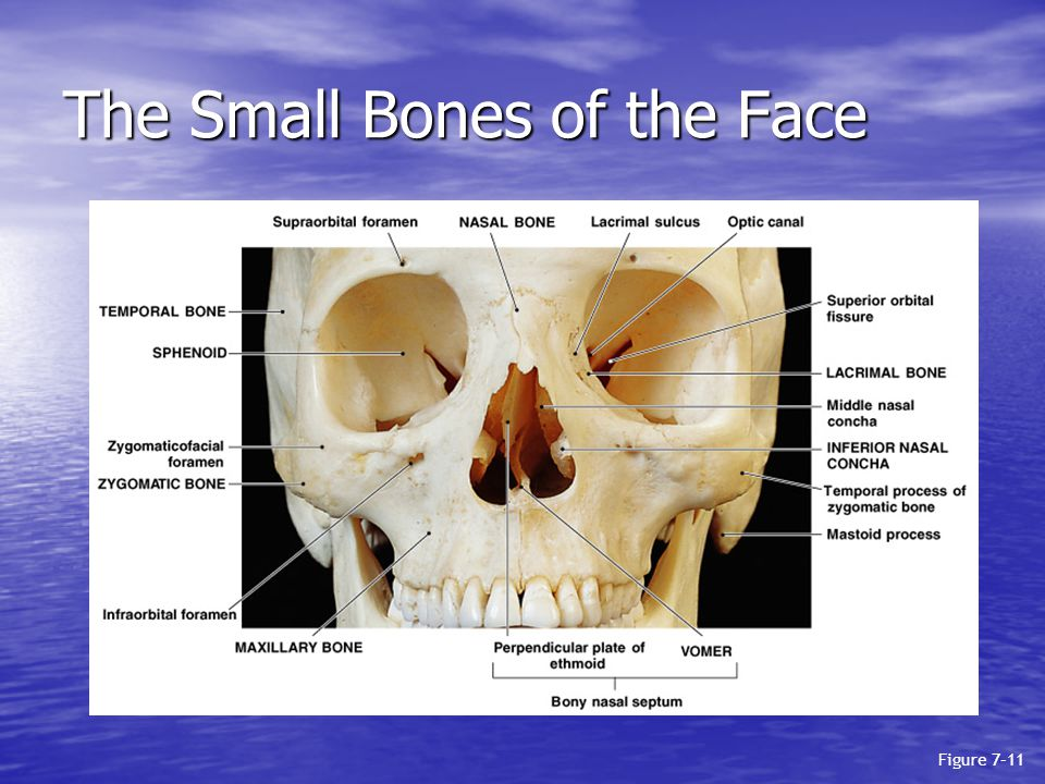 The Small Bones of the Face