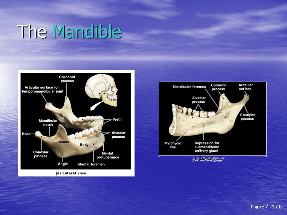 The Mandible Figure 7–12a,b
