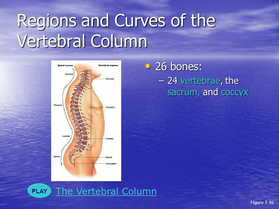 Regions and Curves of the Vertebral Column