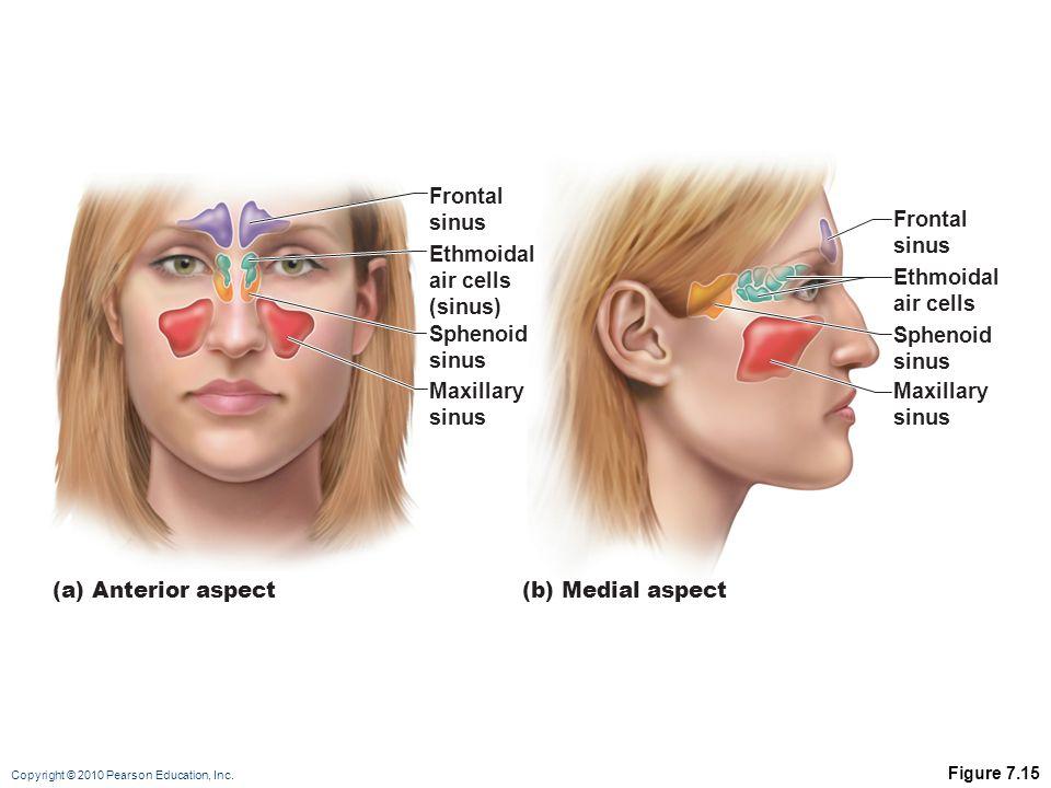 Frontal sinus Frontal sinus Ethmoidal air cells (sinus) Ethmoidal