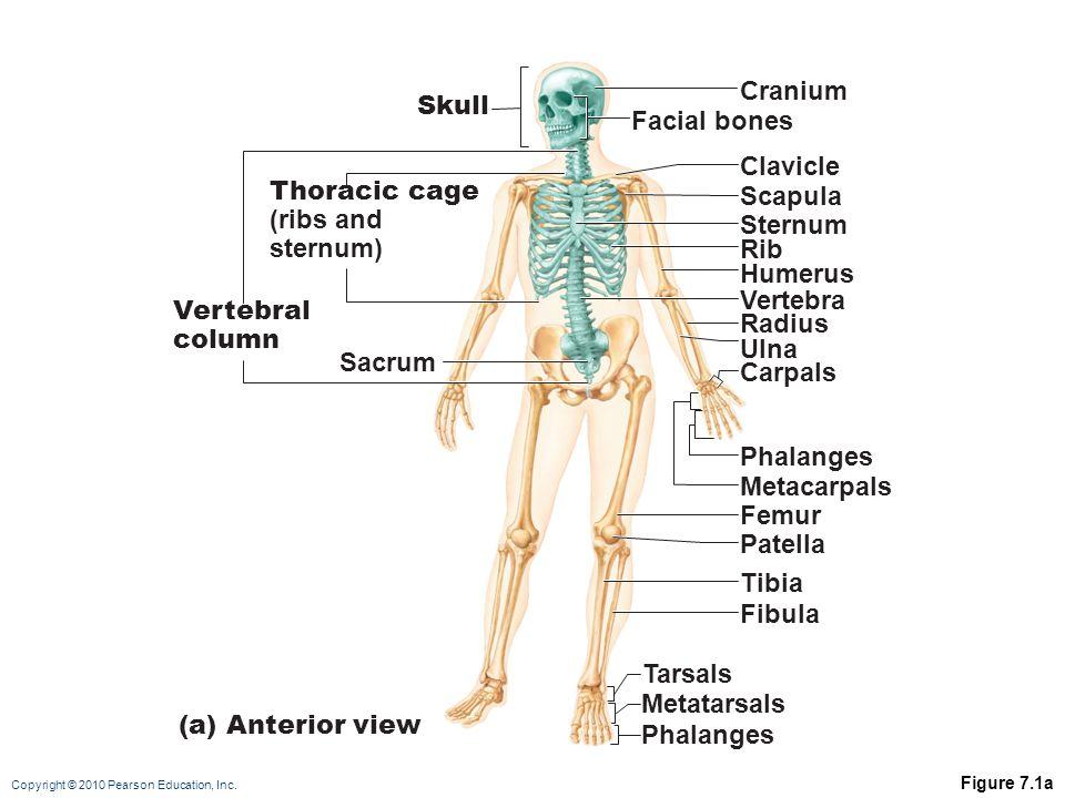 Cranium Skull Facial bones Clavicle Thoracic cage Scapula (ribs and