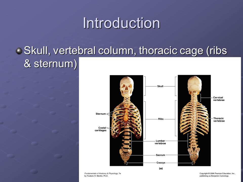 Introduction Skull, vertebral column, thoracic cage (ribs & sternum)
