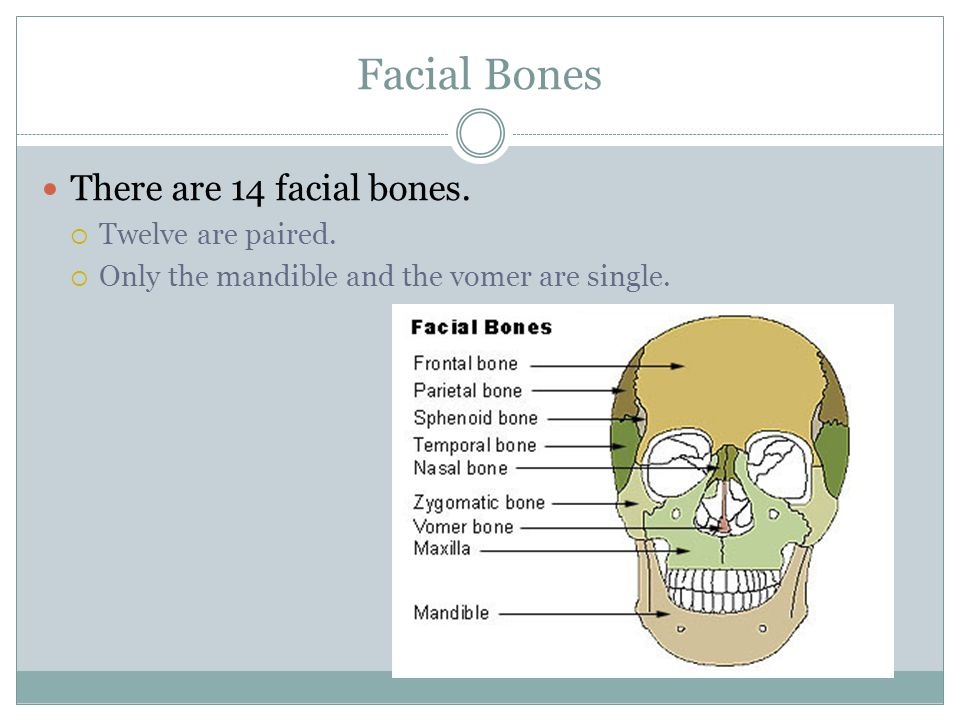 Facial Bones There are 14 facial bones. Twelve are paired.