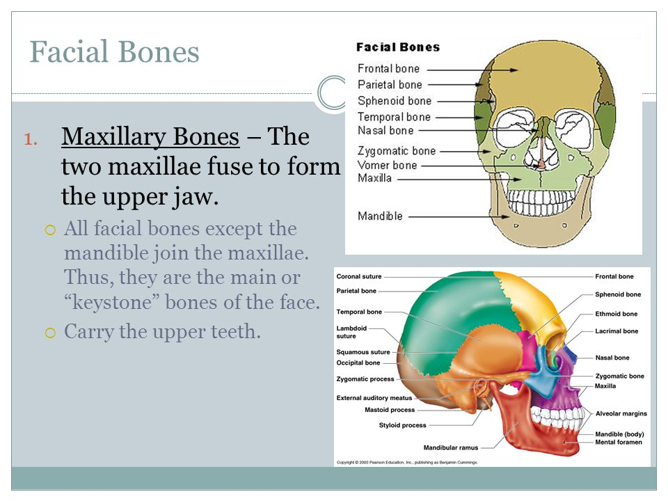 Facial Bones Maxillary Bones – The two maxillae fuse to form the upper jaw.