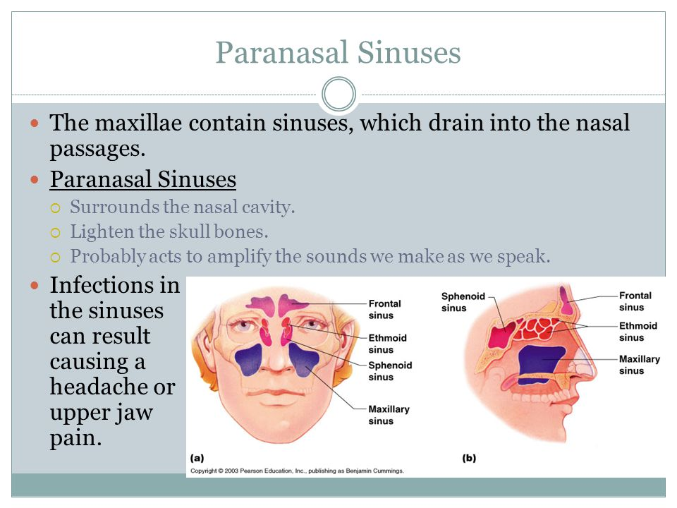 Paranasal Sinuses The maxillae contain sinuses, which drain into the nasal passages. Paranasal Sinuses.