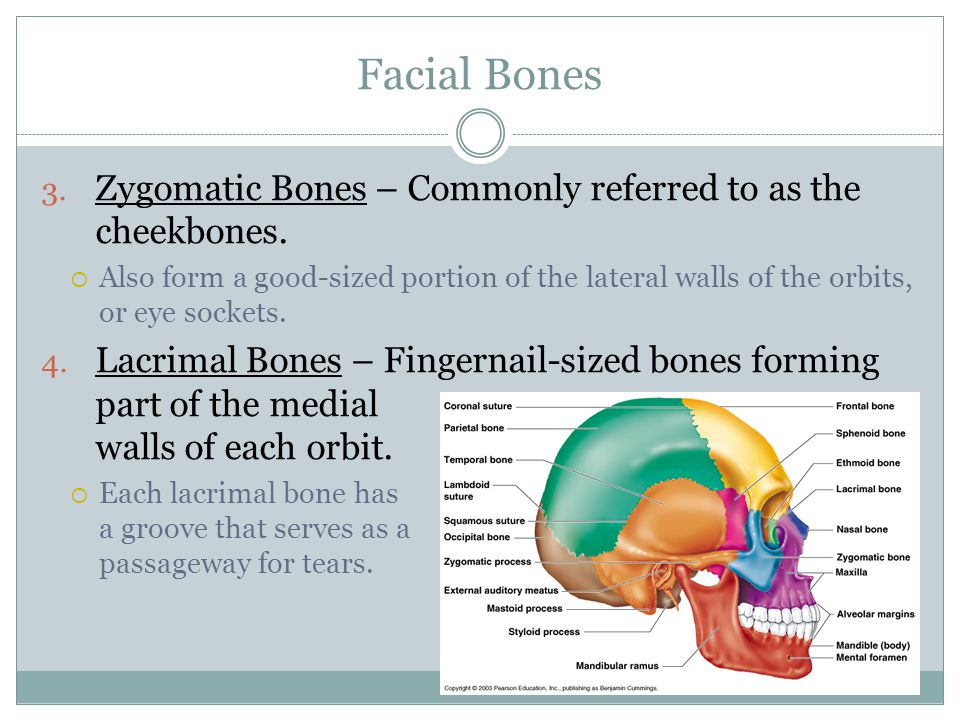 Facial Bones Zygomatic Bones – Commonly referred to as the cheekbones.