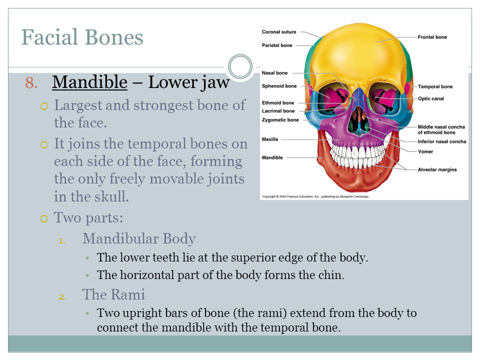 Facial Bones Mandible – Lower jaw