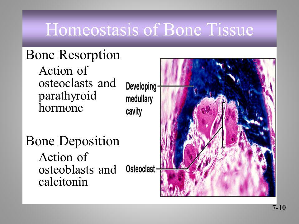 Homeostasis of Bone Tissue