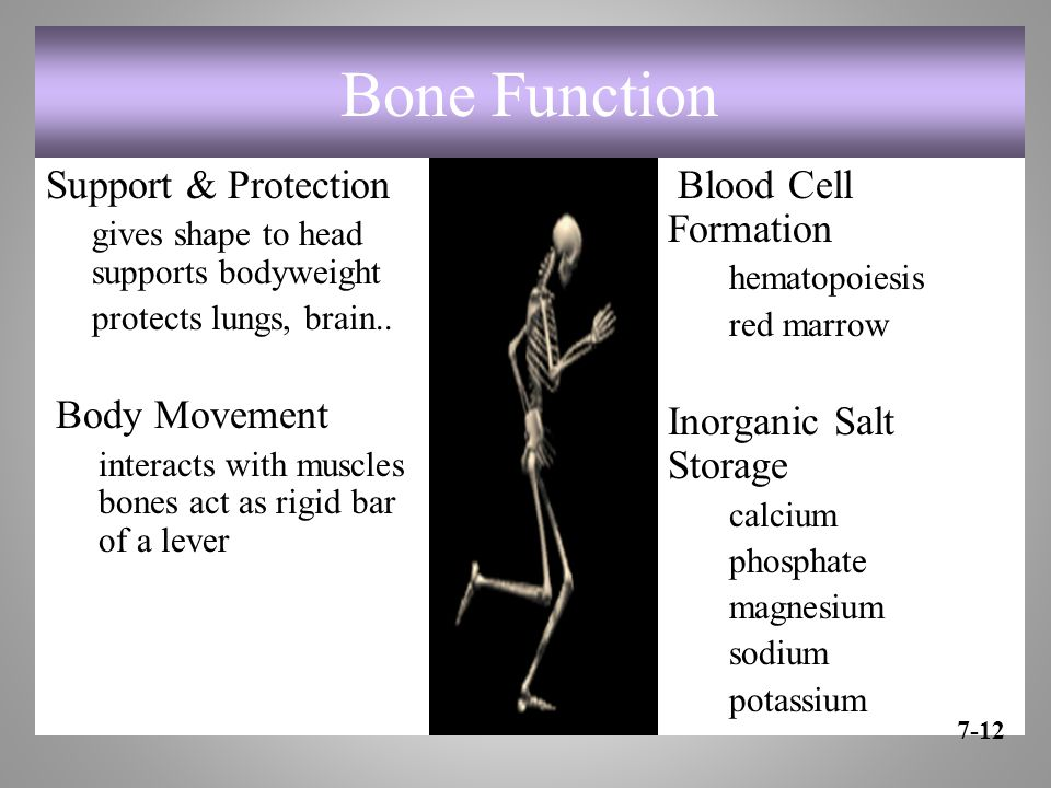 Bone Function Support & Protection Body Movement Blood Cell Formation
