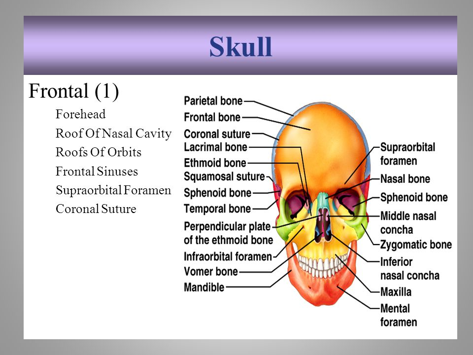 Skull Frontal (1) Forehead Roof Of Nasal Cavity Roofs Of Orbits