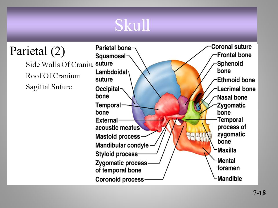 Skull Parietal (2) Side Walls Of Cranium Roof Of Cranium