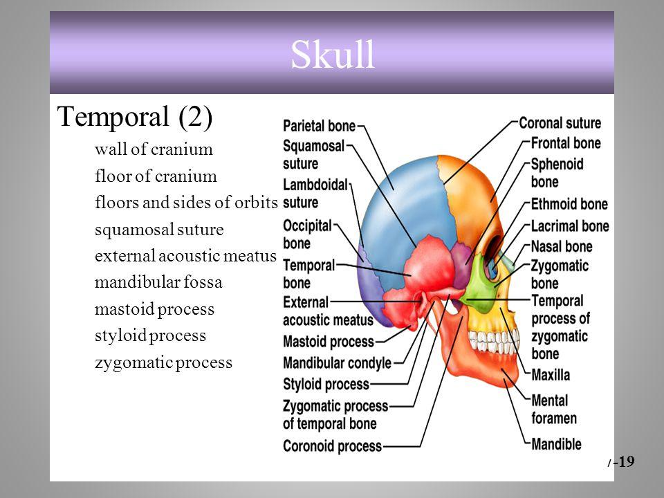 Skull Temporal (2) wall of cranium floor of cranium