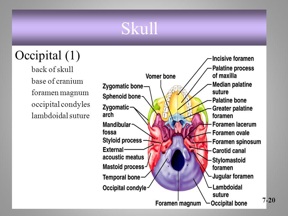 Skull Occipital (1) back of skull base of cranium foramen magnum