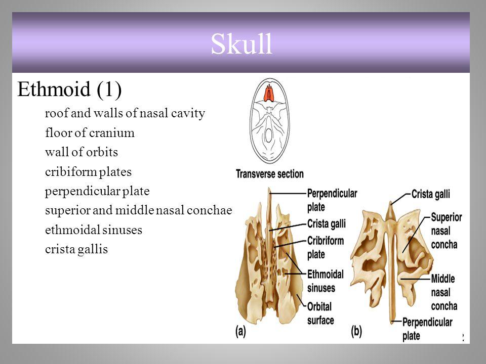 Skull Ethmoid (1) roof and walls of nasal cavity floor of cranium