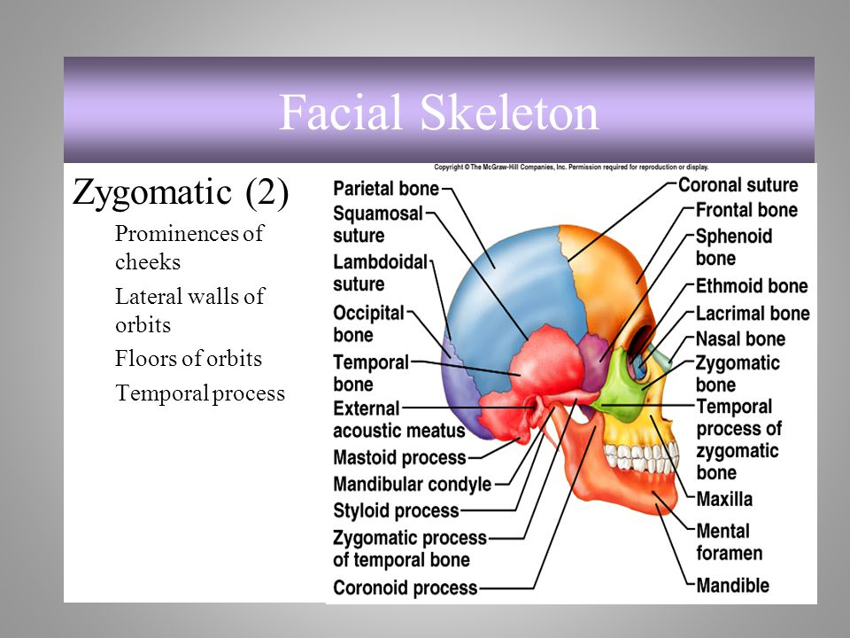 Facial Skeleton Zygomatic (2) Prominences of cheeks