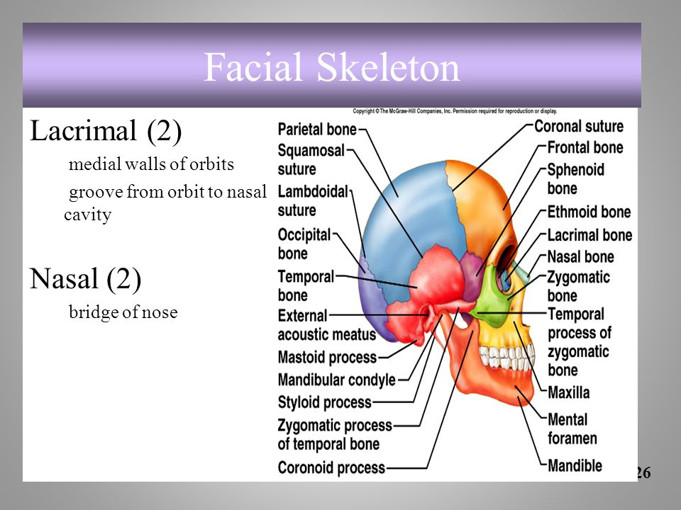 Facial Skeleton Lacrimal (2) Nasal (2) medial walls of orbits