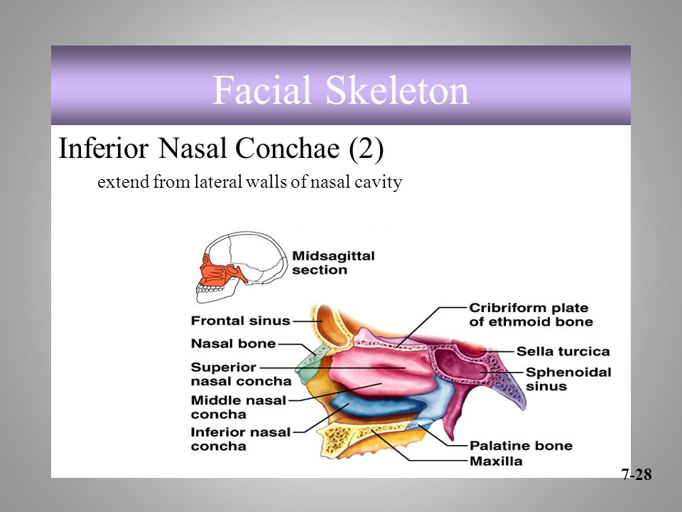 Facial Skeleton Inferior Nasal Conchae (2)