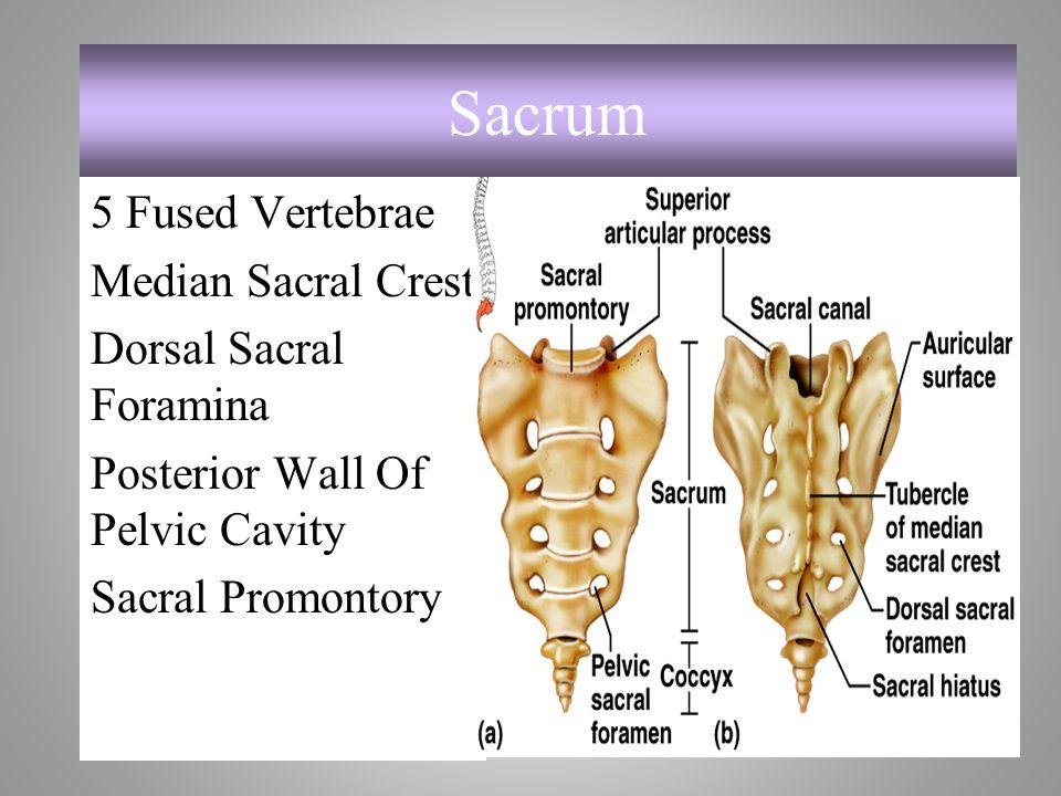 Sacrum 5 Fused Vertebrae Median Sacral Crest Dorsal Sacral Foramina Posterior Wall Of Pelvic Cavity Sacral Promontory