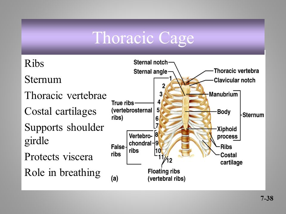 Thoracic Cage Ribs Sternum Thoracic vertebrae Costal cartilages Supports shoulder girdle Protects viscera Role in breathing