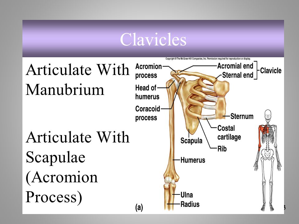 Clavicles Articulate With Manubrium Articulate With Scapulae (Acromion Process) 7-43